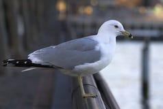 Seagull på räcke arkivfoto