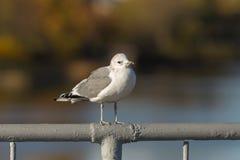 Seagull på räcket Royaltyfri Foto