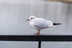 Seagull på räcket Royaltyfri Fotografi