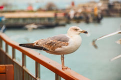 Seagull på räcket Arkivfoton