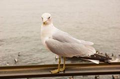 Seagull på räcket Arkivbild