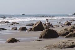 Seagull på rocks Arkivbilder