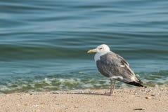 Seagull på sanden Fotografering för Bildbyråer