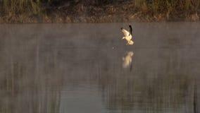 Seagull på sjön, Corbeanca, Ilfov County, Rumänien arkivfoto