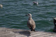 Seagull på skeppsdockan i Barcelona Arkivbild