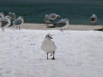 Seagull på snön Arkivbilder