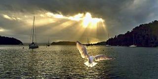 Seagull på soluppgång med Crepuscula strålar Royaltyfri Bild