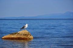 Seagull på stenen arkivbilder