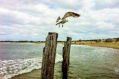 Seagull på stolpen på nytt - ärmlös tröjakust Royaltyfri Fotografi
