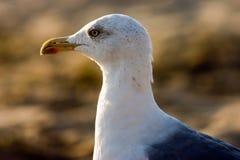 Seagull på strand Arkivfoto