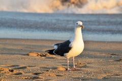 Seagull på strand Royaltyfria Foton