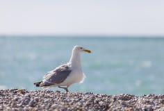 Seagull på stranden arkivbilder
