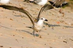 Seagull på stranden Arkivfoton