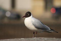 Seagull på stranden Royaltyfria Foton