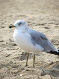 Seagull på stranden Royaltyfri Foto