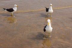 Seagull på stranden Gaivota Arkivbild