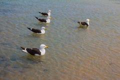 Seagull på stranden Gaivota Arkivfoton