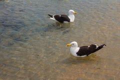 Seagull på stranden Gaivota Arkivfoto