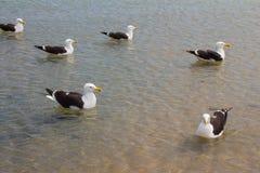 Seagull på stranden Gaivota Royaltyfri Foto