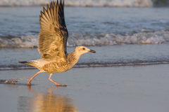 Seagull på stranden på Mandvi royaltyfria foton