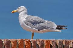 Seagull på taklägga Arkivfoto