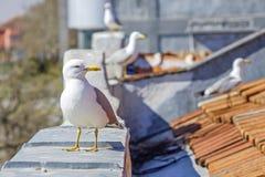Seagull på taklägga Royaltyfri Fotografi