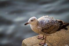 Seagull på Themsen Royaltyfri Foto