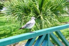 Seagull på USF-universitetsområdet royaltyfria bilder