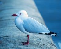 Seagull på väggen Fotografering för Bildbyråer