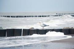 Seagull på vågbrytaren royaltyfri foto
