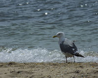 Seagull på vattens kant Arkivfoton