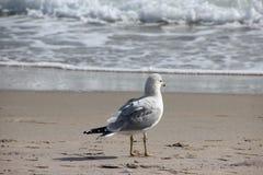 Seagull på den Florida stranden Fotografering för Bildbyråer