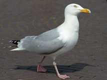 Seagull på en strand Royaltyfria Foton