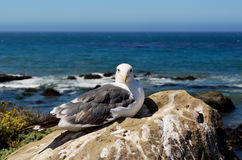 Seagull, Pacific Coast, near Morro Bay, California, USA Stock Photo