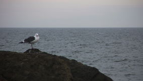 Seagull at the Pacific Ocean stock video