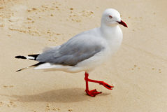 Seagull. At Pacific Ocean in Lennox Head in Australia Royalty Free Stock Images