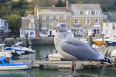 Seagull at Padstow  Cornwall Stock Images