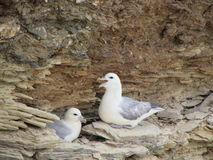 Seagull pair royalty free stock photo