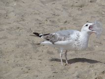 Seagull pakunek obrazy royalty free