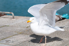 Seagull parade. On a dock Royalty Free Stock Photos
