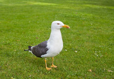 Seagull in park Stock Image
