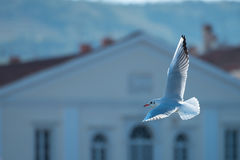 Seagull passing. Beautiful weagull flying in front of the white building Royalty Free Stock Photo