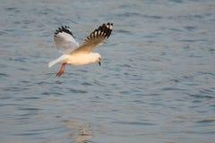 Seagull patrzeje dla ryba Obrazy Royalty Free