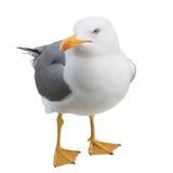 Seagull patrzeje kamerę, odizolowywającą na bielu Zdjęcie Stock