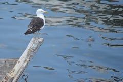 Seagull patrzeje ocean Zdjęcie Stock