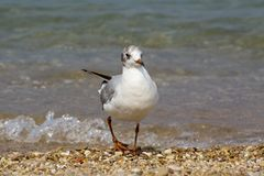 Seagull on a pebble beach near the edge of the surf. Royalty Free Stock Images