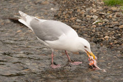 Seagull pecking at salmon chunk in shallows. A seagull is pecking at a chunk of salmon in the shallows of Brooks River, Alaska. It is only a few inches from the royalty free stock image