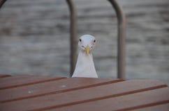 Seagull Peeking. royalty free stock images