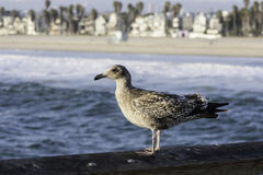 Seagull on a peer. A seagull sittting on apeer at the beach Royalty Free Stock Image
