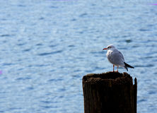 Seagull perched Stock Images